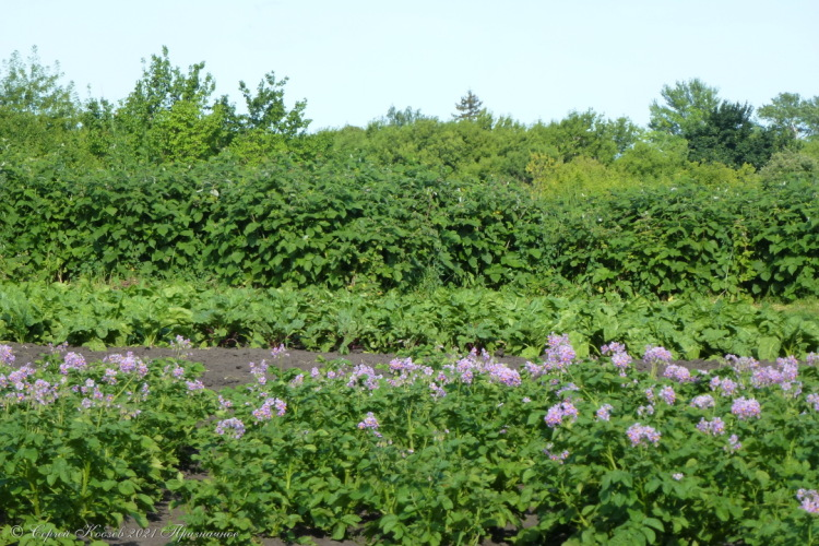 47. Картошка цветёт