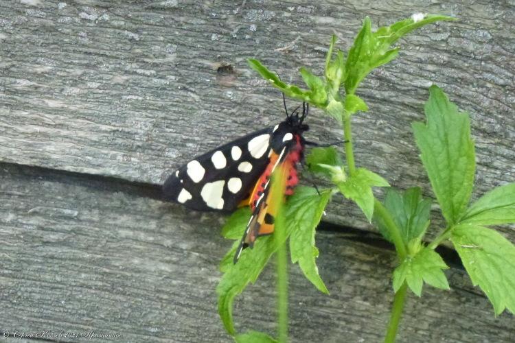 68. Ночная бабочка — бражник